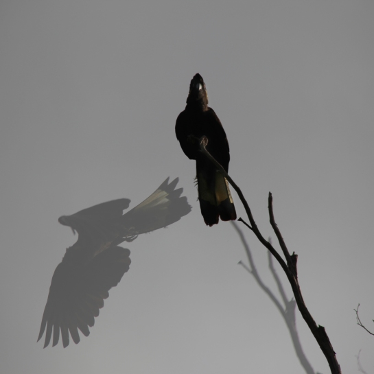 CMWaterson-Yellow-Crested-Black-Cockatoo-2015